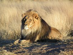 rp_240px-Lion_waiting_in_Namibia.jpg